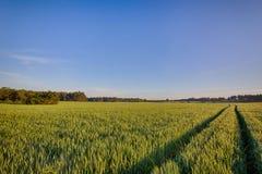 Sun sube sobre los campos de trigo con los caminos en el bosque Foto de archivo