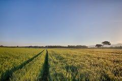 Sun sube sobre los campos de trigo con los caminos en el bosque Fotografía de archivo libre de regalías
