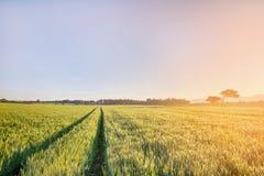 Sun sube sobre los campos de trigo con los caminos en el bosque Imagen de archivo