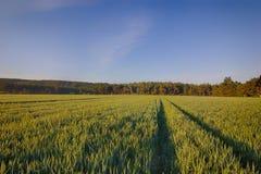 Sun sube sobre los campos de trigo con los caminos en el bosque Foto de archivo libre de regalías