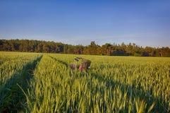 Sun sube sobre los campos de trigo con los caminos y la bici en el bosque Fotos de archivo libres de regalías