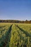 Sun sube sobre los campos de trigo con los caminos y la bici en el bosque Imágenes de archivo libres de regalías