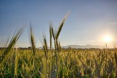 Sun sube sobre los campos de trigo en el bosque Fotografía de archivo libre de regalías