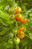 Sun Sugar variety cherry tomatoes. Yellow Sun Sugar cherry tomatoes on the vine Royalty Free Stock Photos