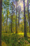 Sun. Summer woods somewhere in Siberia Stock Photos