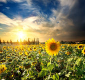 Sun and sunflowers. Field of blossoming sunflowers at the sunset Royalty Free Stock Images