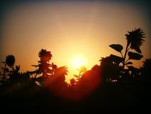 Sun&Sunflowers stockfotos