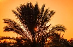 Sun at sunset through the leaves of the date palm Stock Image