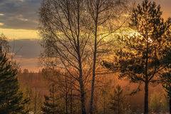 Sun at sunset shines through the branches of pines and birches Stock Photos