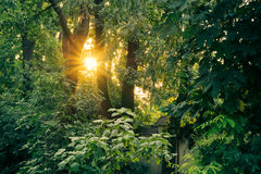 Sun at sunset among the tall lush green trees Stock Image