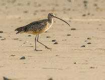 Sun, Surf and beach. What a life. This long-billed Curlew takes a stroll along the beach looking for a snack Stock Photography
