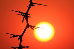 Sun Thorn - Nature Texture and Background - Sunset Beauty Royalty Free Stock Photo