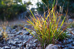 Sun touched. Clump of wild grass lighted up by the final rays of a setting autumn sun.  Location: Edge of Balcones Canyonlands National Wildlife Refuge, Austin Royalty Free Stock Photo