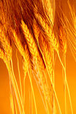Sun touched grain. Farm fresh goodness harvested in the warmth of the summer sunshine Stock Images