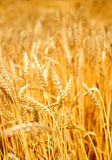 Sun touched grain Stock Images