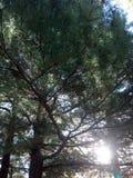 Sun tramite il pino Fotografia Stock