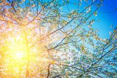 Sun translucent through crone of blossoming cherry Stock Photography