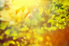 Sun translucent through leaves of a tree instagram Royalty Free Stock Photography