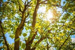 Sun a través de árboles Fotos de archivo libres de regalías
