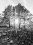 Sun a través de árboles Fotografía de archivo libre de regalías