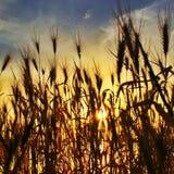 Sun a través de las cañas en la puesta del sol Imagen de archivo