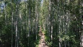 Sun a través de los árboles de una arboleda del abedul clip Trayectoria a través de la arboleda del abedul en el verano Fondo, na Fotografía de archivo