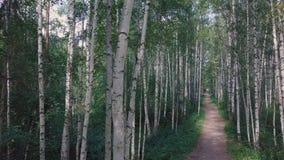 Sun a través de los árboles de una arboleda del abedul clip Trayectoria a través de la arboleda del abedul en el verano Fondo, na Fotos de archivo