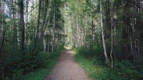 Sun a través de los árboles de una arboleda del abedul clip Trayectoria a través de la arboleda del abedul en el verano Fondo, na Imagen de archivo libre de regalías
