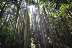 Sun a través de Muir Woods Trees Imagen de archivo libre de regalías