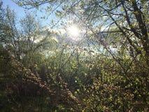 Sun a través del arbusto Fotos de archivo libres de regalías