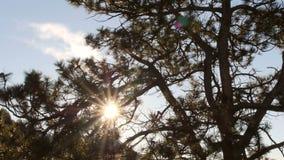 Sun a través del tiro del resbalador del árbol de pino almacen de metraje de vídeo