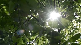 Sun in tree branches. Sun and wind. Sun rays in the spring trees playing with leaves. Alder trees and sunbeams in the wind stock footage