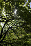 Sun through tree. Nature tree sun green shade forrest summer branches bark Royalty Free Stock Photography