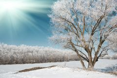 Sun and tree in winter forest, blue sky and white snow, beautiful wild landscape Royalty Free Stock Image
