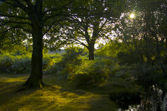 Sun through the trees. Sunlight shining through the trees in the New Forest Stock Photography