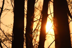 Sun. With trees Stock Images
