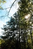 Sun in the trees in the forest royalty free stock photography