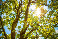 Sun through trees Royalty Free Stock Photos