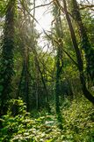 Sun through trees overgrown with moss in dense rainforest stock photography