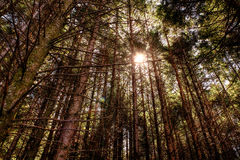 Sun through the trees. The sun pokes through the trees in a forest Stock Image