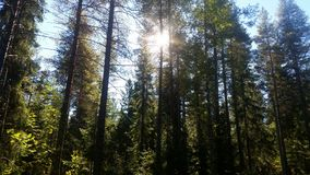 Sun between trees Stock Images