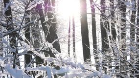 Sun through the trees in the winter forest stock video footage