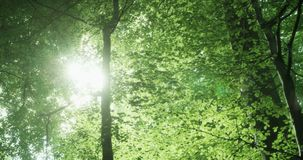 Sun through the treetops. Slow pan of a the bright green canopy of beech trees in the springtime. The sun flares brightly through the leaves stock footage