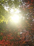 Sun Trough Autumn Forest Royalty Free Stock Photography