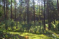 Sun in una foresta di conifere Immagini Stock Libere da Diritti
