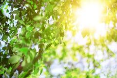 Sun und Blätter Grün verlässt auf einem Hintergrund des blauen Himmels und der Sonne Stockfoto