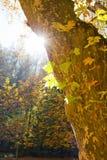 Sun under a plane tree Stock Photo