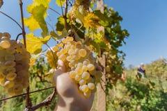 Sun in valle dell'uva Mazzo di uva succosa in mano del ` s dell'agricoltore a tempo di raccolto Immagini Stock Libere da Diritti