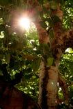Sun verstreicht durch Gap im Banyanbaum stockfotografie