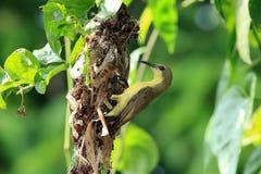 Sun-Vogel, der Nest bildet Stockbilder